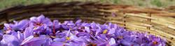 Saffron_Farm_dreamstimelarge_7412620_edited_edited.jpg