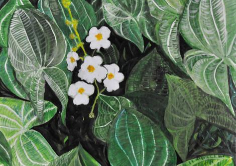Broadleaf Arrowhead  (Sagittaria Latifolia)(2019),Acrylic on canvas, 18x24
