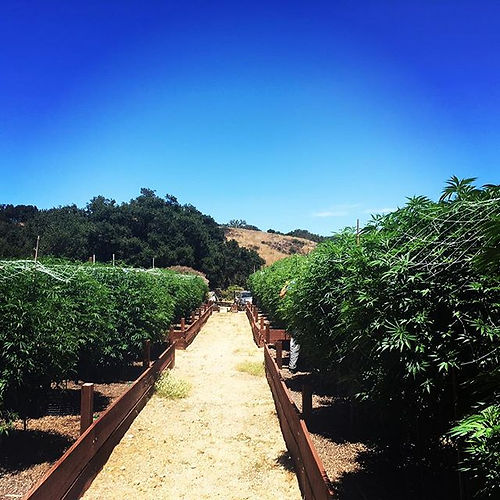 #fieldofdreams #805cannabiscommunity #805hasfire #ganja