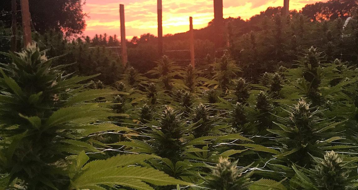 #ganja #805hasfire #805cannabiscommunity #fieldofdreams #cannabiscomnunity