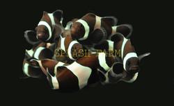 Black Ocellaris