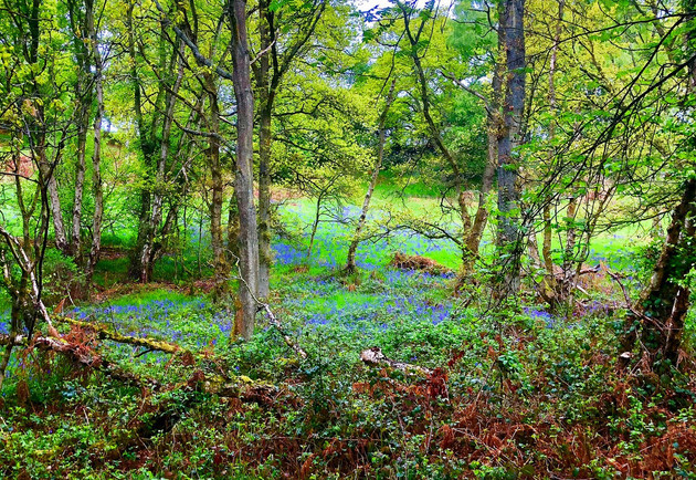 Bluebell Wood, Fell Side