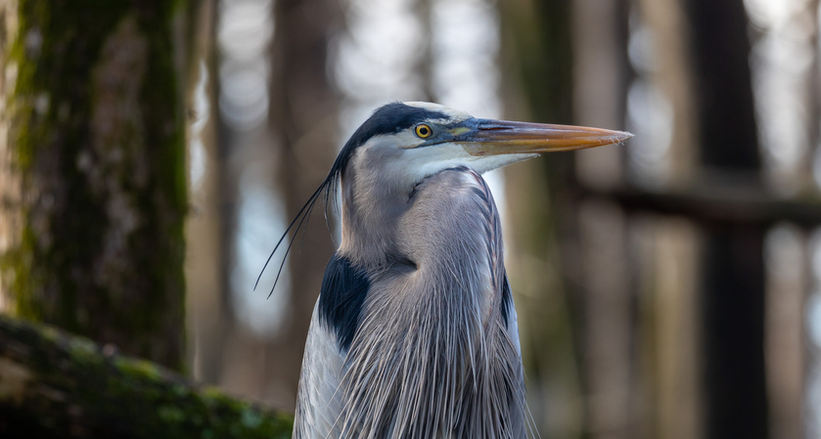 THE GREAT BLUE HERON KING