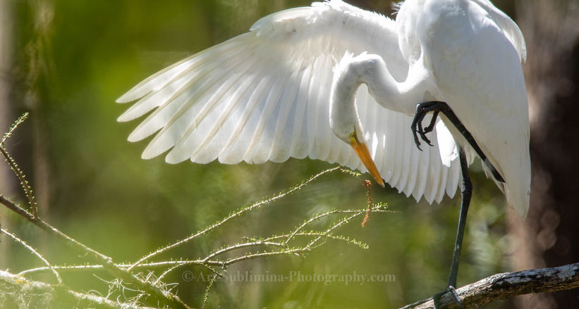THE EGRET TAKES A BOW