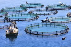 Impacts of biofouling in marine aquaculture