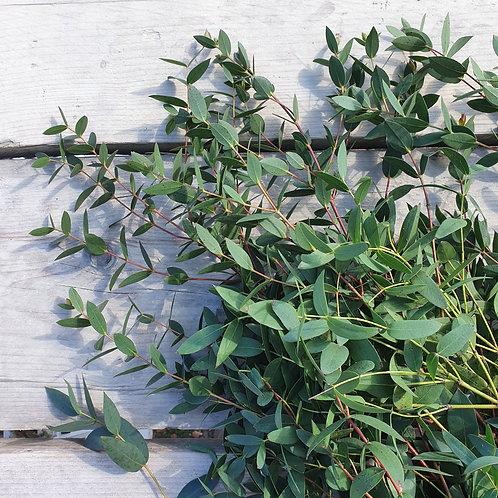 Wholesale bunch of Eucalyptus