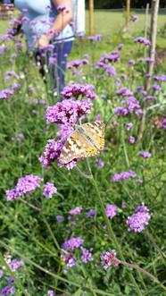 Butterfly on Verbena