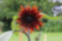 sunflowerclaret