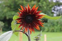 sunflowerclaret