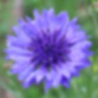 cornflower_edited.jpg