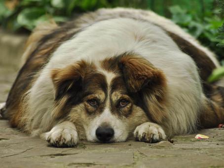 Overvekt hos hund og katt