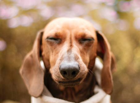 Sjokoladeforgiftning hos hund