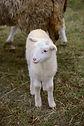 sheep-4790549_960_720.jpg