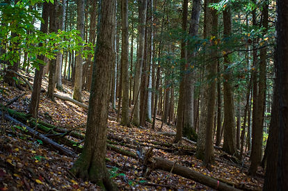 Hemlock Forest.jpg
