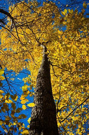Bitternut Hickory Fall Color.jpg