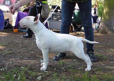 bulteriér štěně