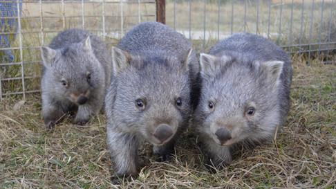 Meet the Wombabies!