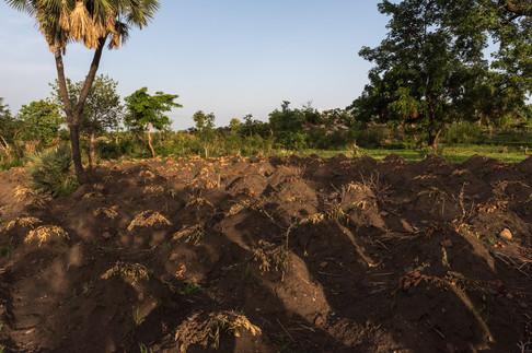 Так выращивают Кассаву - основную еду в этих трех странах. Что-то типа картошки, только еще менее полезная.
