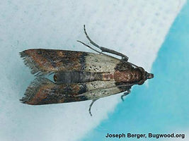 indianmeal-moth_insectimagesorg.jpg