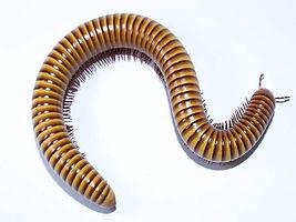 millipede.jpg