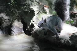 Little Gray Squirrel