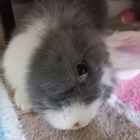 Inclinación de Cabeza (Torticolis) en Conejos: No Te Rindas.