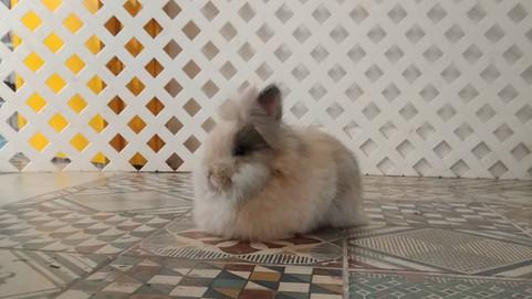 ¿Qué tipo de conejo debería conseguir?