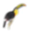 Toucan01_edited.png