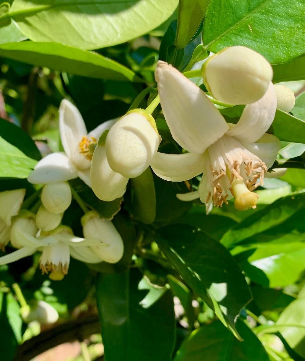 Pomelo Blossoms