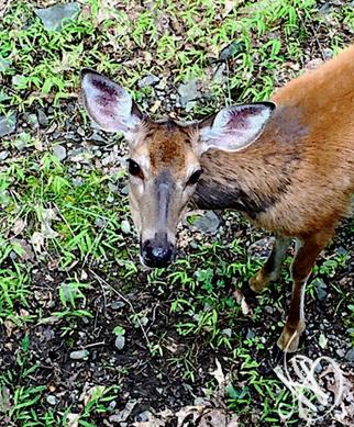 Quite Frankly My Deer