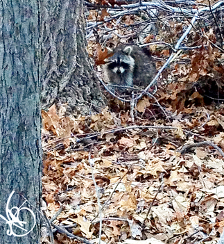 A Noon Racoon?