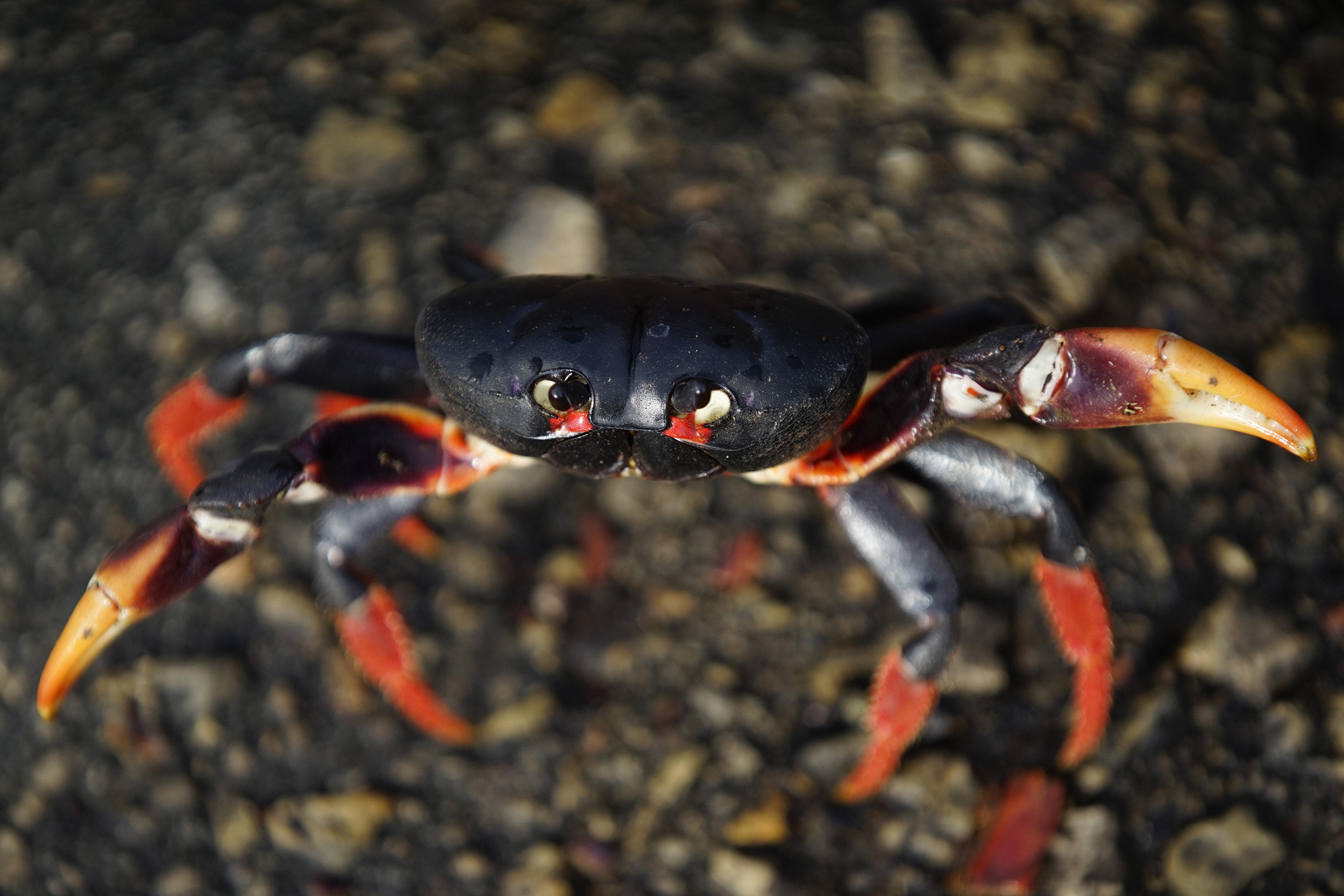 Cuba Crabs - series