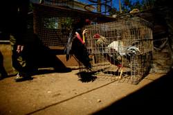 Clandestine Cockfighting - series