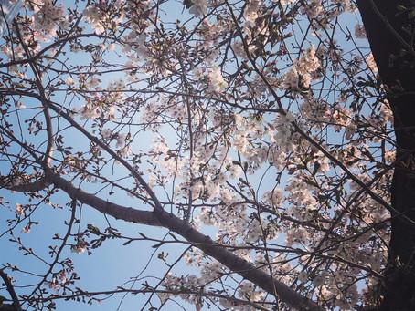 桜もだいぶ咲いてきてうきうき😊