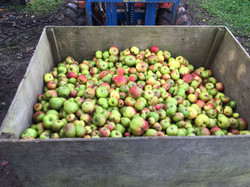 Apples at Kenton Park Estate