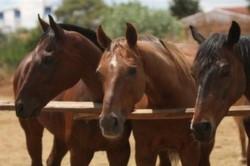 at çitliği