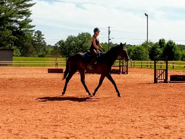 Lapse  5 year old 17.hh TB gelding