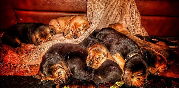 Bloodhound Puppies UK- Houndseeker A litter