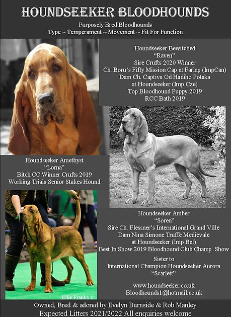 Expected Bloodhound Litter 2021 / 2022 - Bloodhound Breeders UK