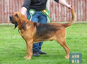 Houndseeker Bloodhounds Carter