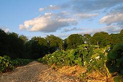 Jordgubbsplantor på Höglunda Gård
