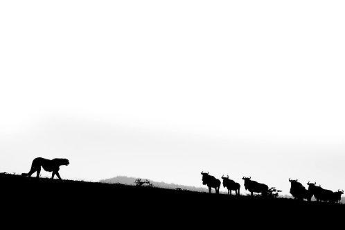 Hunting Cheetah, Tsavo West