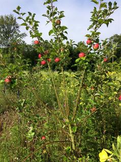 eerste appels