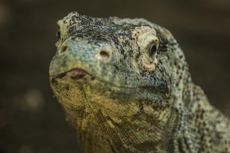 Photo of a komodo dragon Photo by Matthew Henry
