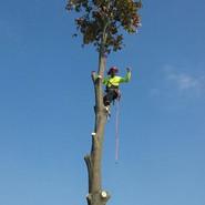 Oak tree removal