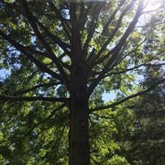 Oak tree trimming