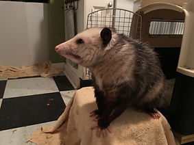 possum on 6 19 2019.JPG