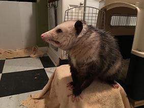 possum on 6 19 2019.JPG