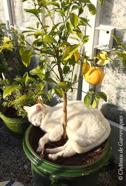 Notre chat, Petit Elephant, à l'ombre du pamplemoussier