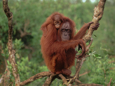 How to save endangered orangutans? The answer may lie in astrophysics